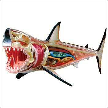 Shark 3D anatomy model