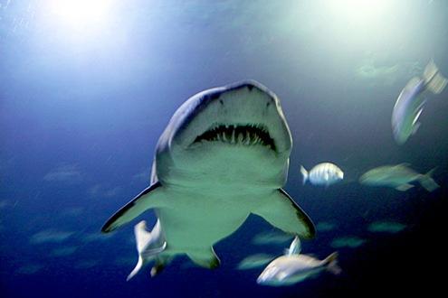 shark-valencia