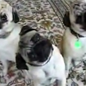 Post thumbnail of Pugs Pugs Pugs