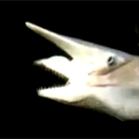 Post thumbnail of VIDEO: Strange Shark