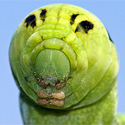 Post thumbnail of Crazy Looking Caterpillars