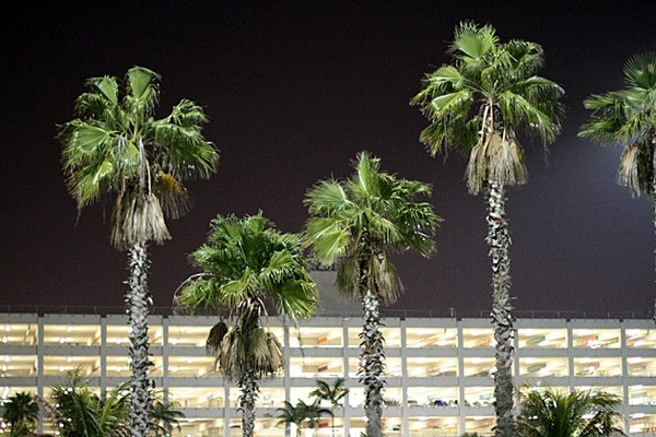 Miami-Palm-Trees