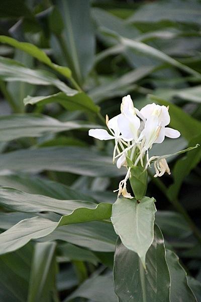 Delta-Lillies