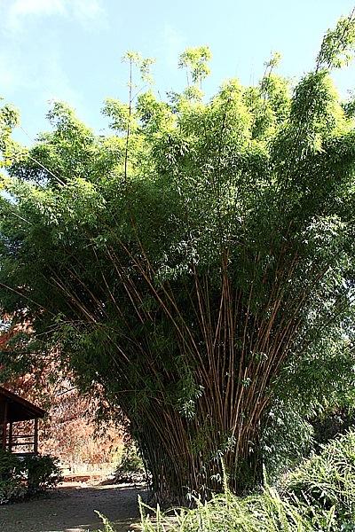 Mega-Bamboo