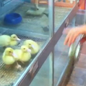 Post thumbnail of Duckies Go Crazy
