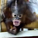 Post thumbnail of Orangutan Baby of Rock