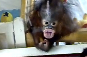 Post image of Orangutan Baby of Rock