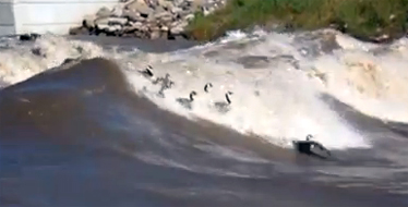 Post image of Surfing Geese