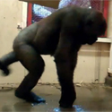 Post thumbnail of Breakdance Gorilla