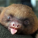 Post thumbnail of Cute: Baby Sloth Yawning