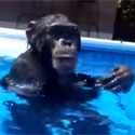 Post Thumbnail of Scuba Diving Chimp