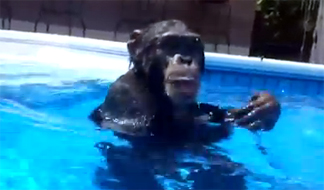 Post image of Scuba Diving Chimp