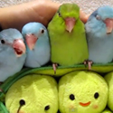 Post Thumbnail of 5 Parrots in a Pod