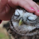 Post Thumbnail of Petowls = Pet Owls