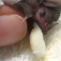 Post thumbnail of Baby Bat