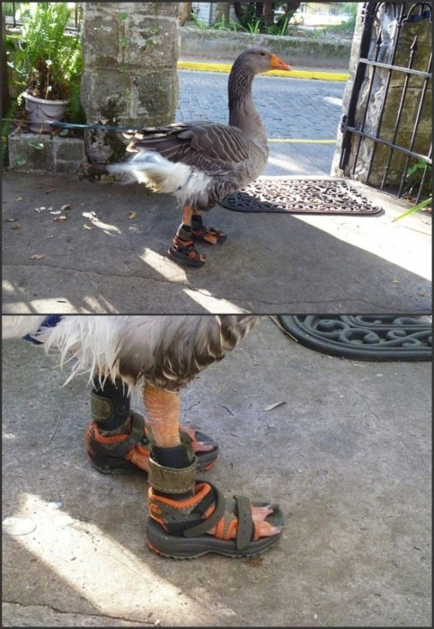 Goose Shoes