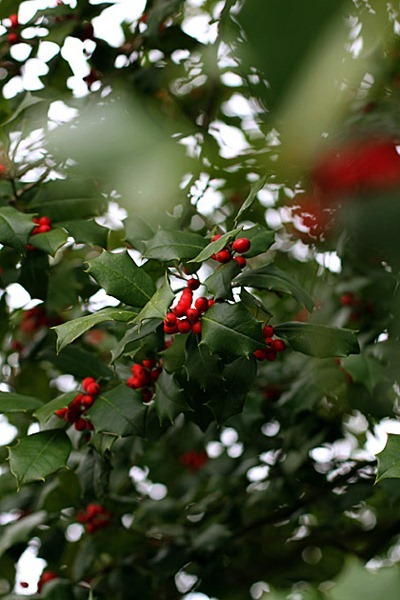 Red-Berry-Bush