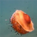 Post Thumbnail of Fried Egg Jellyfish