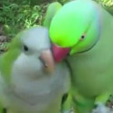 Post thumbnail of Creepy Lovebirds