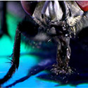 Post thumbnail of A Fly As A Pet? Epic!