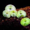 Post thumbnail of Grow Your Own Glow In The Dark Mushrooms