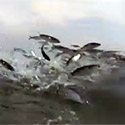 Post Thumbnail of What They Didn't Know–Swarm Of Fish Jumping