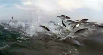 Post image of What They Didn't Know–Swarm Of Fish Jumping