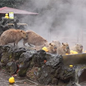Post Thumbnail of Capybaras Love Hot Springs